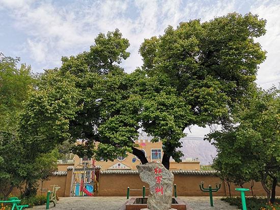 西路军赤军小学操场旁的赤军树。人民网 吴兆飞摄