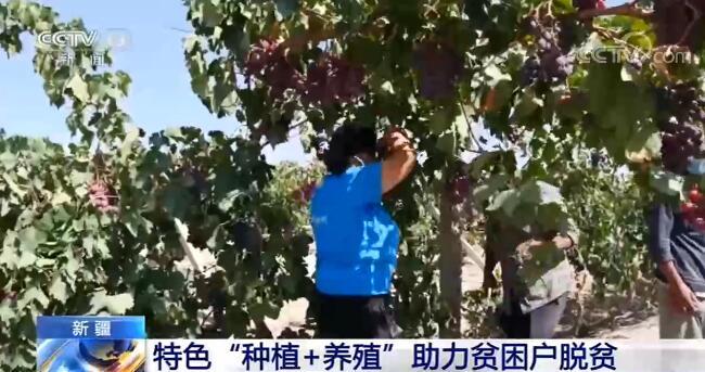 """新疆:特色""""种植+养殖""""模式助力当地贫困户脱贫图片"""