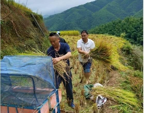 洪江市:干群合力抢收中稻力争颗粒归仓