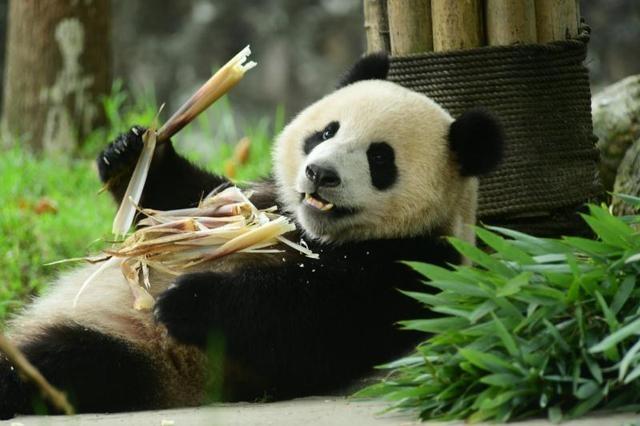 直播预告|明天下午3点 探班熊猫下午茶 啃笋笋喝neinei