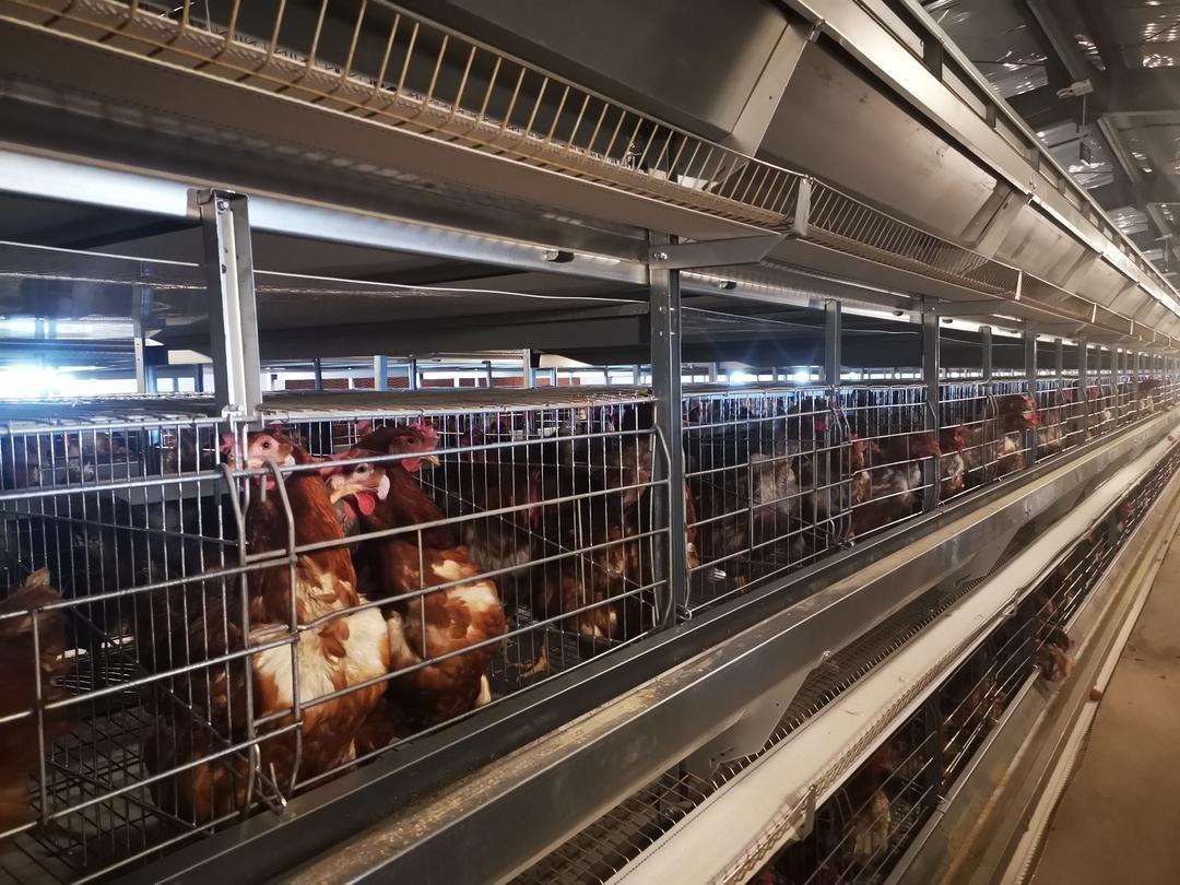 来了!鞍钢集团帮扶新疆塔塔产出第一批高原鸡蛋