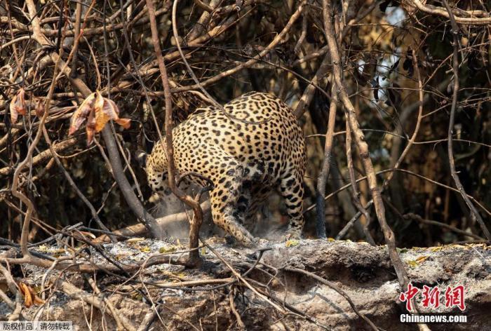 警惕!研究:过去500年 拉美地区近六成哺乳动物消失