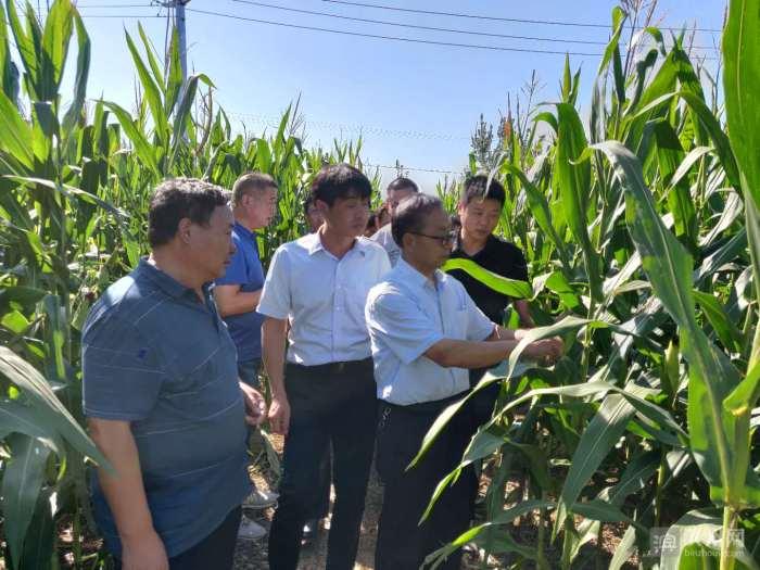 滨州举行玉米品种展示观摩活动,170多个品种各显优劣