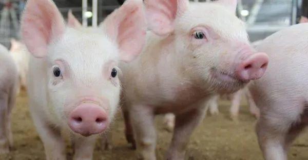 受非洲猪瘟影响,老挝波乔省暂停进口中越泰等国猪肉