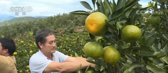 云南建水5万亩柑橘进入采摘季图片