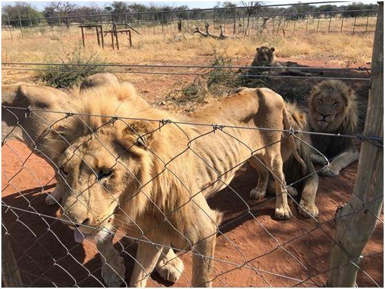 南非狮王受虐瘦到皮包骨,遭困仓库供射杀取乐