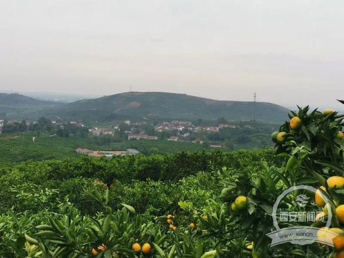 城固23万亩柑橘大丰收