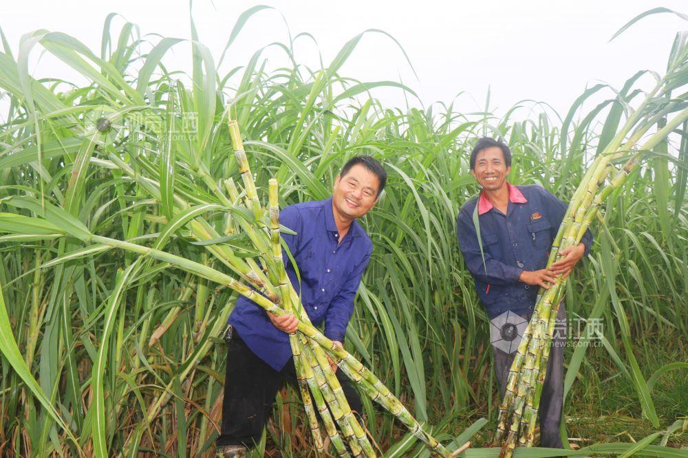 江西余干:甘蔗丰收生活甜