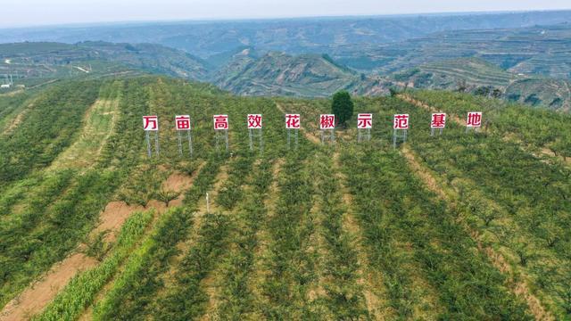 """八道工序净选韩城花椒 黄河岸边""""金豆豆""""让农民捧上""""金饭碗"""""""