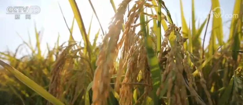今年秋收新亮点 水稻、玉米、大豆三大粮食作物绿色发展增势明显图片