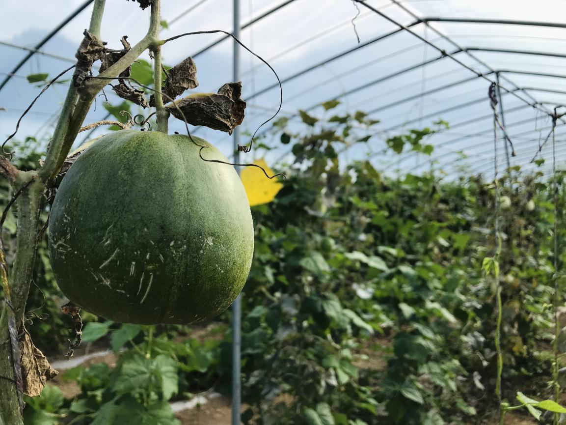 果蔬莳植大棚(将来网记者 谢青摄)