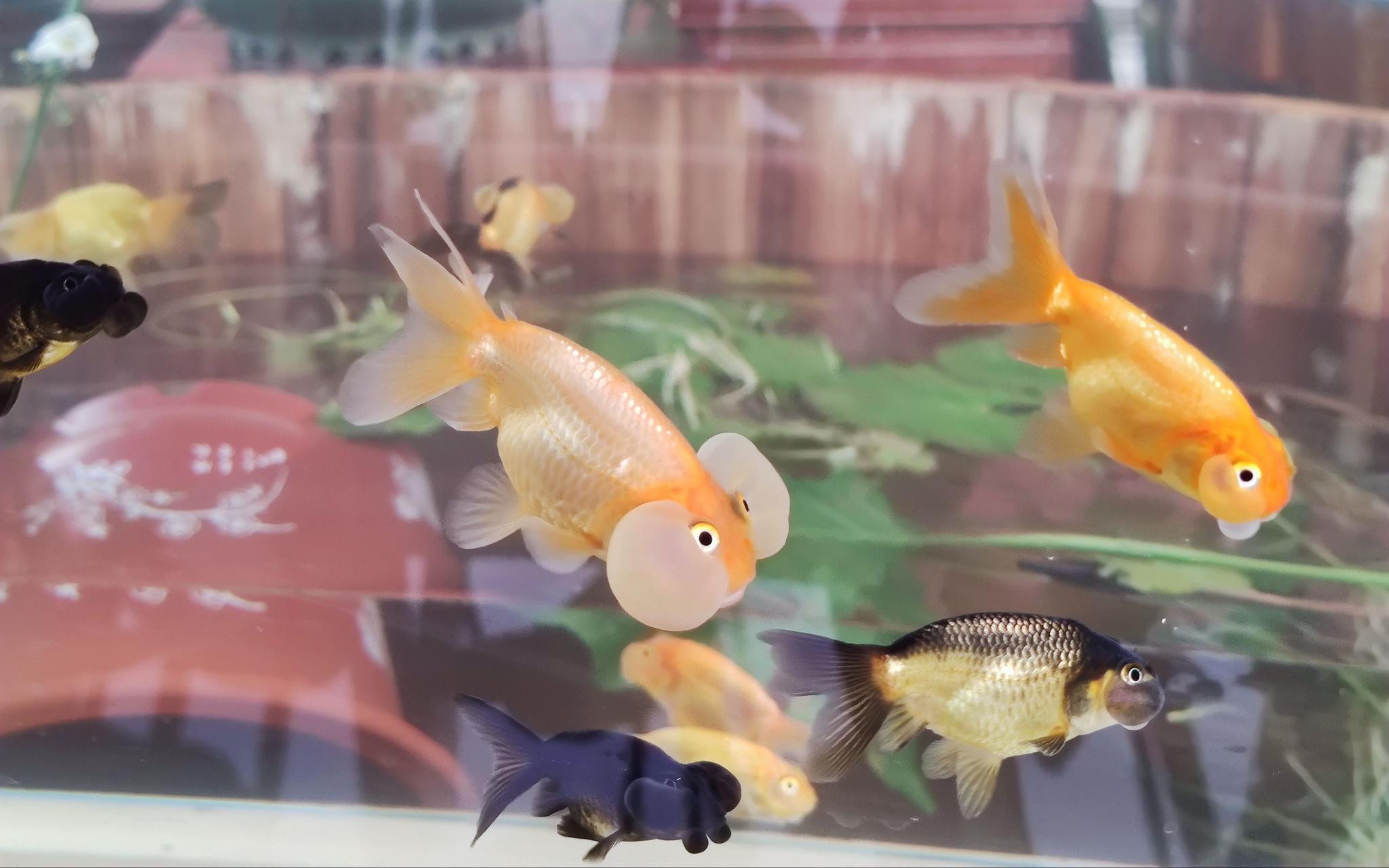 """北京宫廷金鱼养殖户仅7家 农业专家称转发锦鲤不如""""转发金鱼""""图片"""
