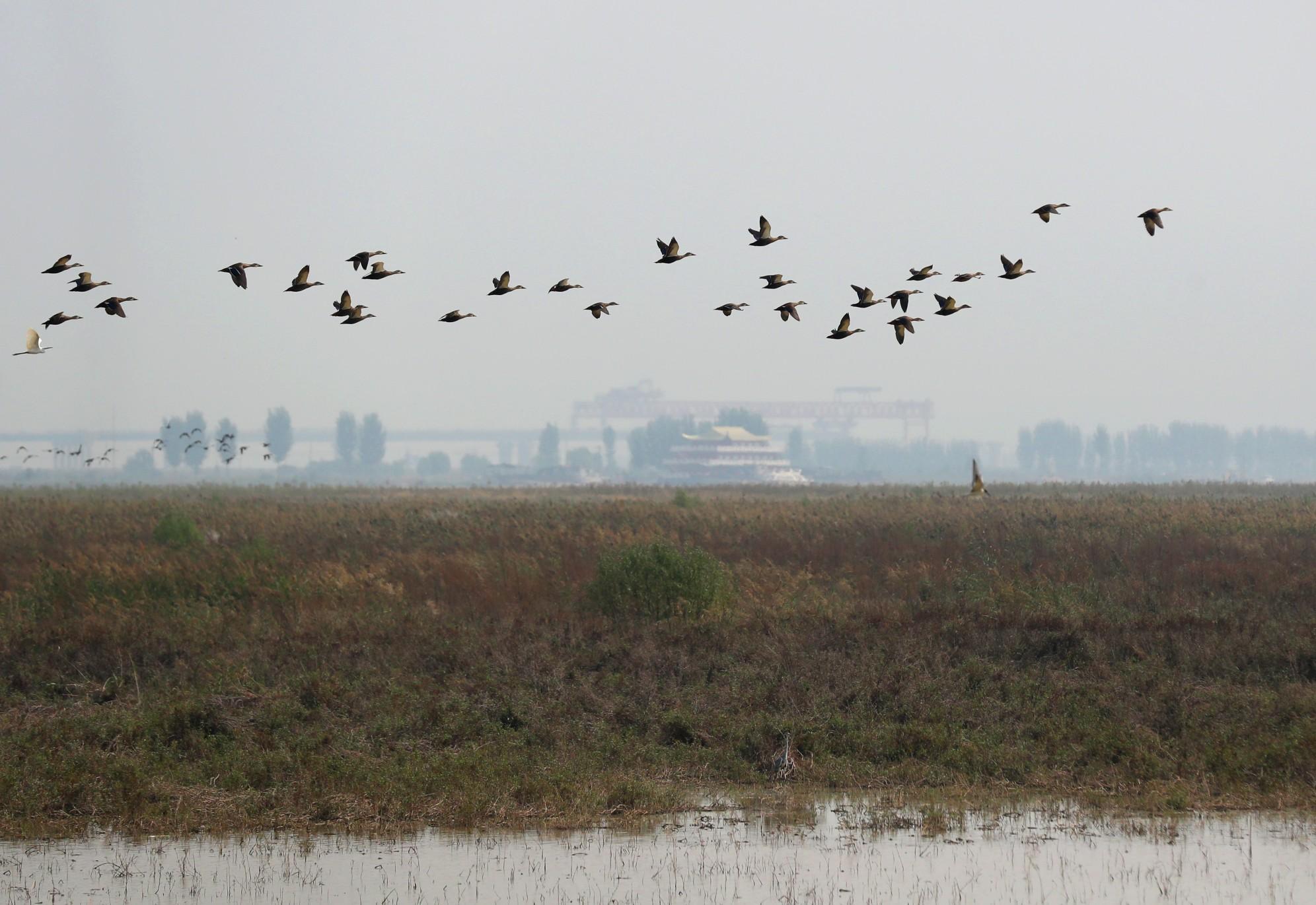 """候鸟""""先头部队""""已经落脚黄河之上 有的是过客、有的要留宿越冬"""