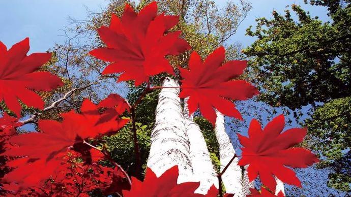 秋意浓,看红叶!桦甸邀您赏枫景!