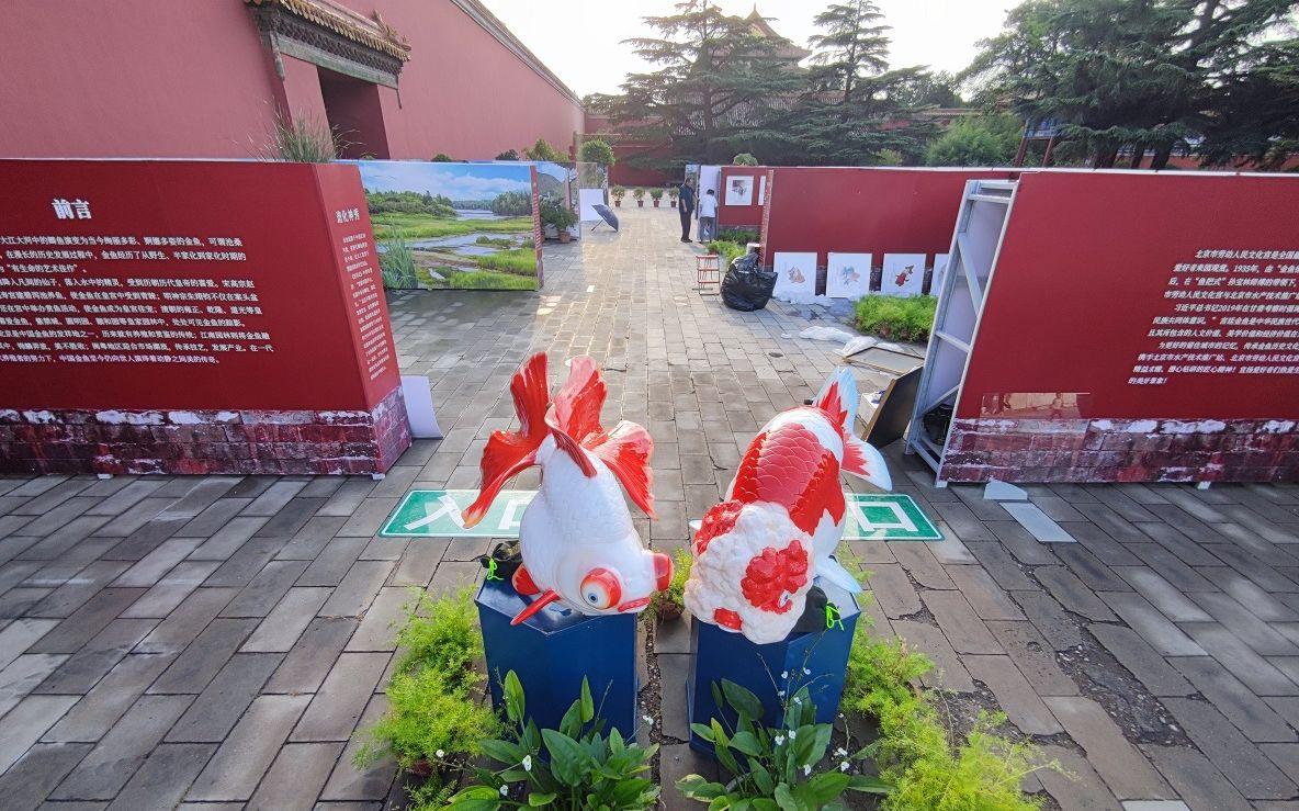 本年的宫廷金鱼展。新京报记者 王巍 摄