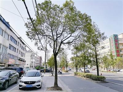 """电缆""""缠绕""""行道树公众担心隐患"""
