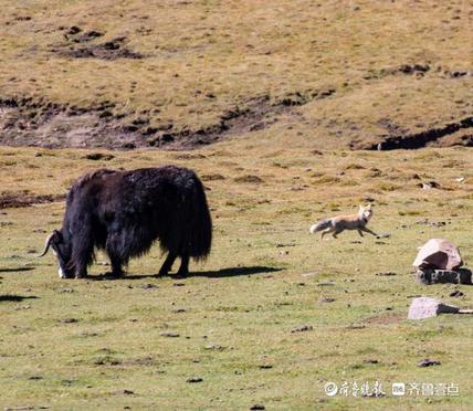 青藏高原上,狐狸牦牛和谐相处