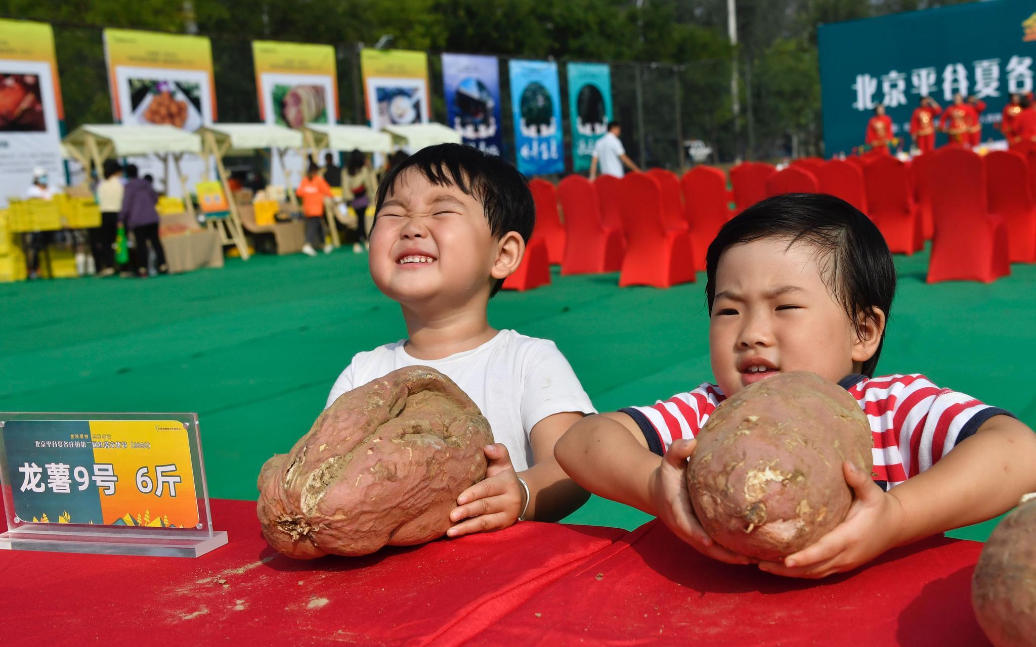 红薯文化节上,小同伙在试着拿起六斤重的龙薯。拍照/新京报记者 吴宁