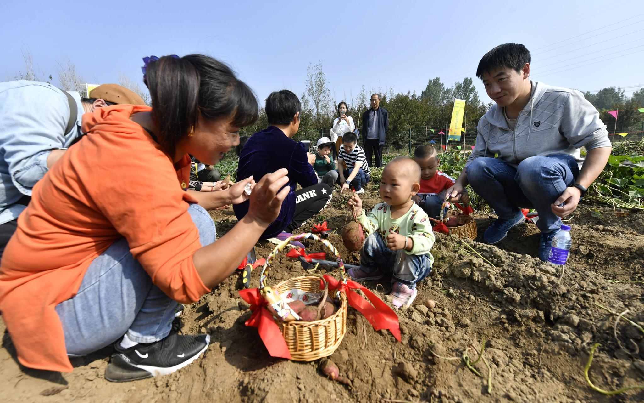 小同伙在家长的率领下在地里挖红薯。拍照/新京报记者 吴宁