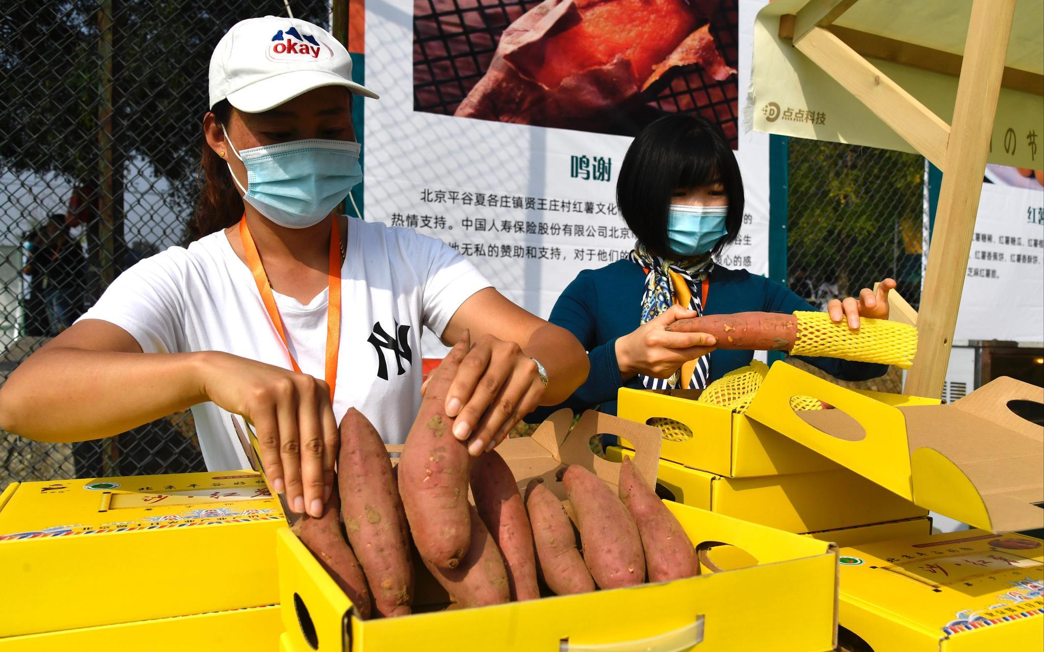 红薯文化节上,事情职员在展示沙红薯。拍照/新京报记者 吴宁
