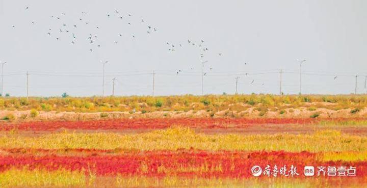 黄河口最美的季节到了——红地毯和鸟类迁徙