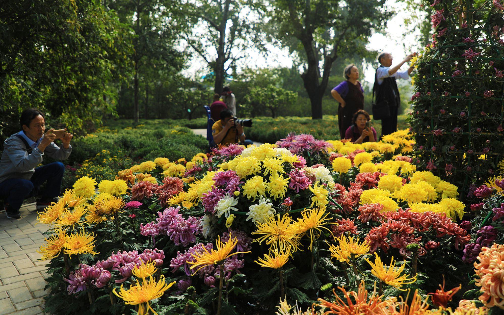 北京植物园市花展开幕 新培育的12个小菊品种首次迎客图片