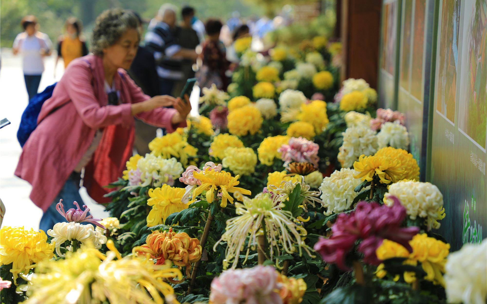 北京植物园内温室至卧佛寺沿线,以展台情势展示180个品种的佳构独本菊。北京植物园供图