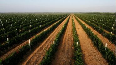 贺兰山东麓下的葡萄田。(资料图片)