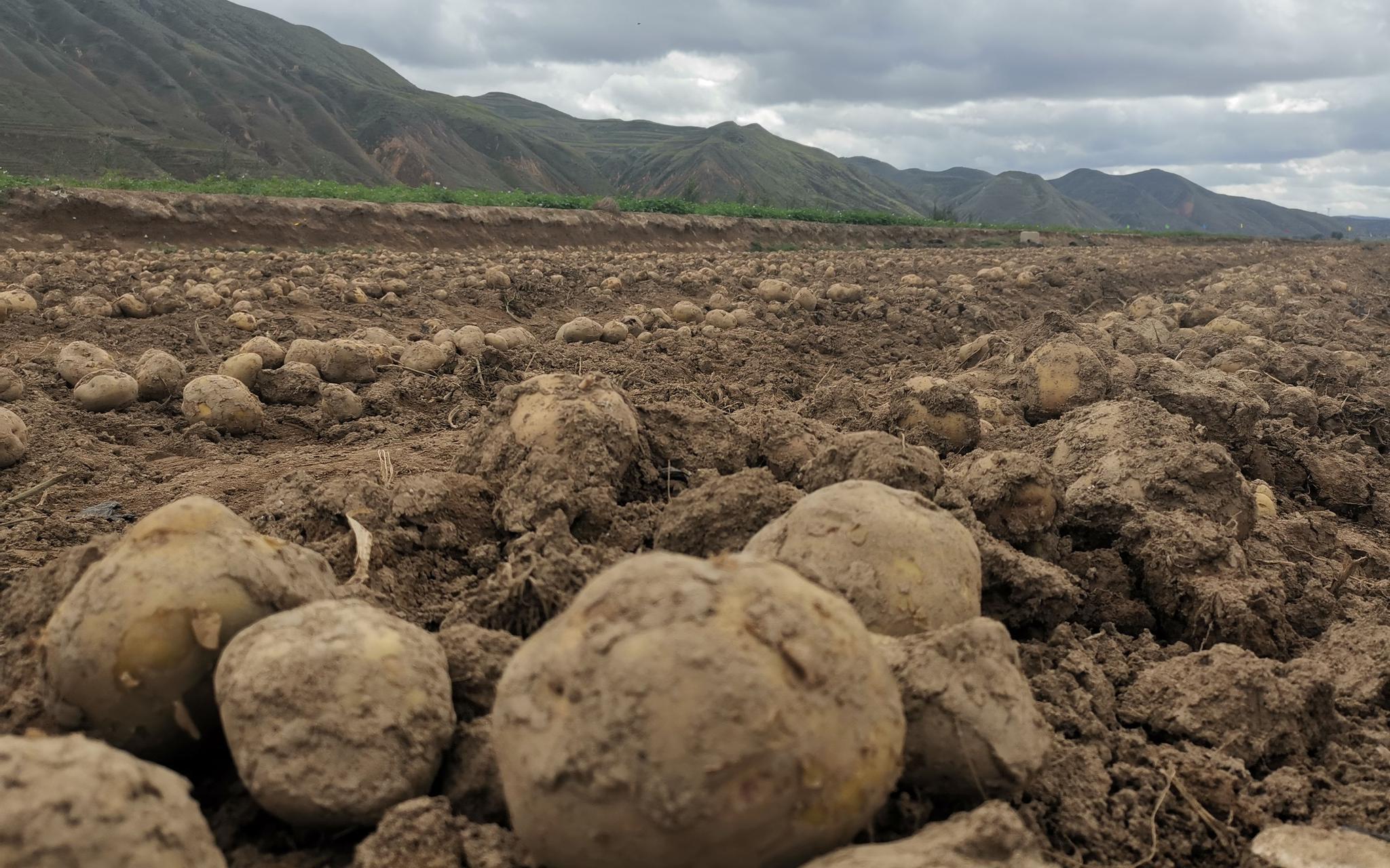 甘肃定西土豆成熟开挖 收获土豆主要有三步图片