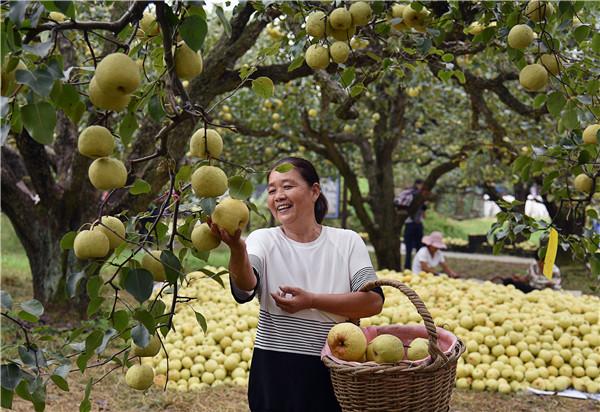 农民收获节:砀山县忙着摘梨