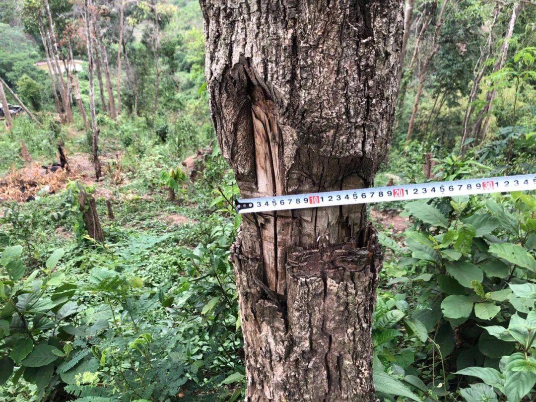 非法侵占林地、种茶毁林……云南通报10起典型案例图片