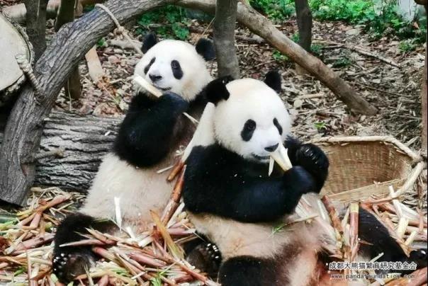 成都大熊猫基地发布国庆中秋限流公告 建议游客提前购票