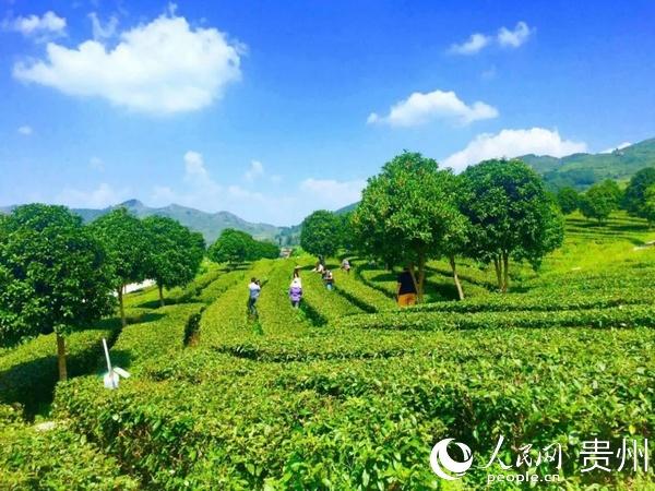 思南:为世界奉献洁净茶