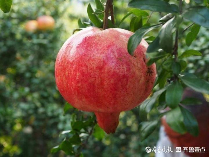"""枣庄榴园镇""""石榴大王""""露脸,一个三斤多重"""