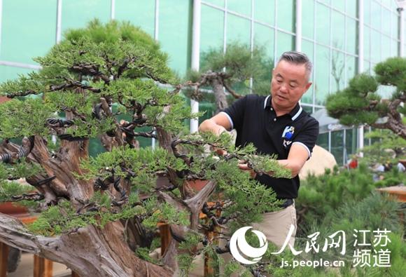 """""""第十届中国盆景展览""""在江苏沭阳举办"""