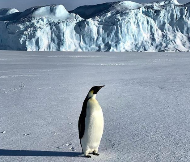 别样的友谊!南极科考人员和帝企鹅聊天,企鹅追随着他穿过冰川