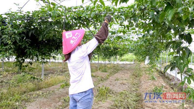 【满意在三明】汤川乡:高山百香果丰收在即