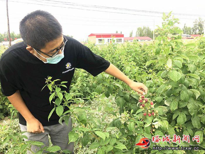 额敏县:红色覆盆子颜色不同