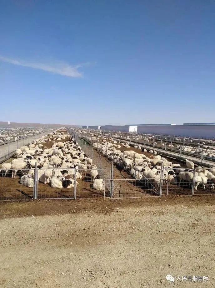 这次,蒙古国捐赠的3万只羊真的要来了图片