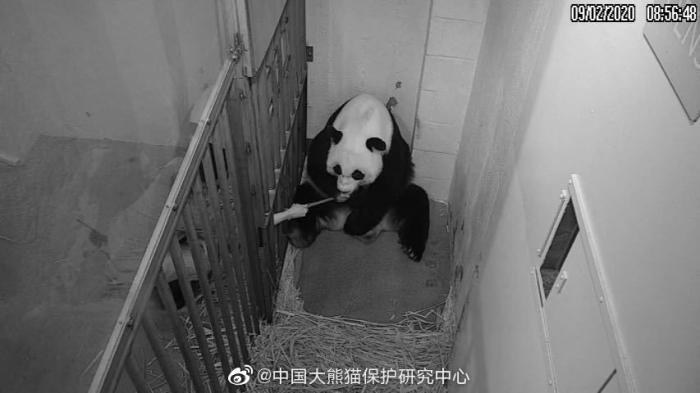 """图为此次""""美香""""生产大熊猫后,华盛顿动物园饲养员对""""美香""""人工喂食监控画面"""