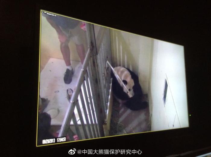 """图为2013年""""美香""""生产大熊猫""""宝宝""""后,华盛顿动物园饲养员对""""美香""""人工喂食监控画面"""