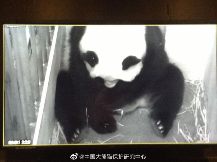 """图为""""美香""""生产大熊猫""""宝宝""""时监控画面"""