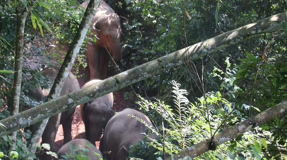 【提醒】正加强监测预警!24头亚洲野象首次集中造访云南宁洱县