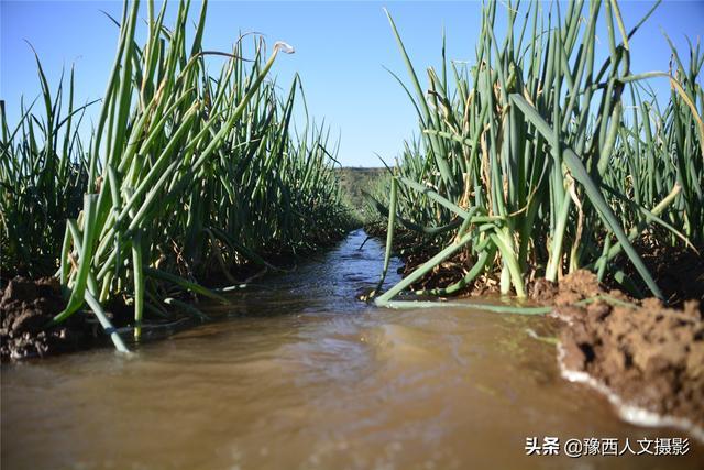 蓟县年轻人回乡种地 土豆种在大葱里 每