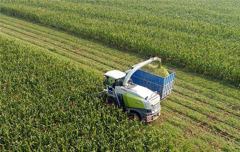 河北冯润:青贮玉米收获正是时候