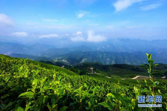 陕西省勉县:万亩生态茶园风景如画