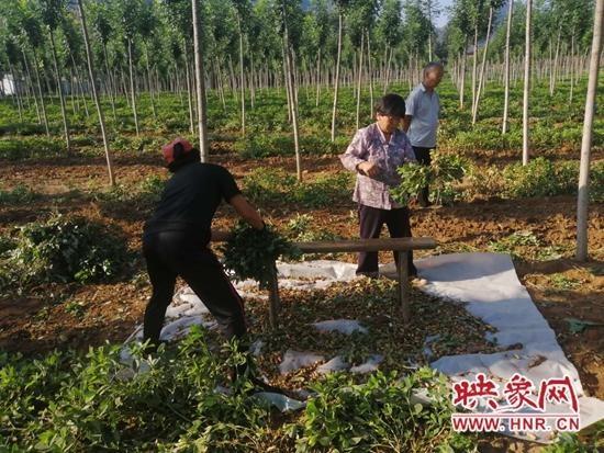 洛宁县郭庄村:发展特色种植业 脱贫致富