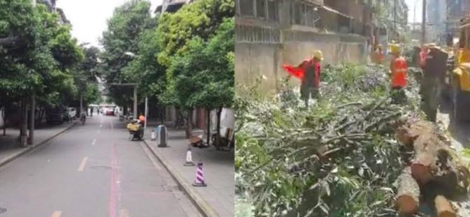 成都桂花巷桂花树被砍 当地回应:已立案调查