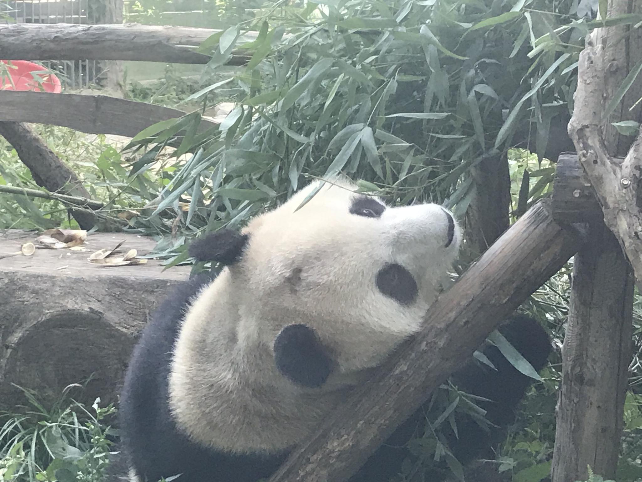 """北京动物园网红大熊猫""""突然头秃"""",园方回应(图)"""