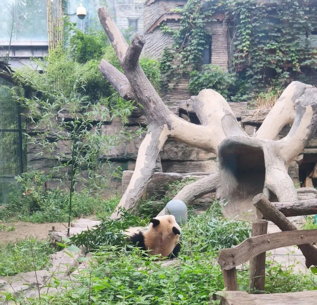 """北京动物园回应""""熊猫秃了""""图片"""